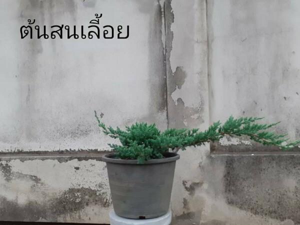 ต้นสนเลื้อยและต้นสนHair